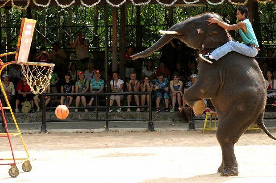 Только посмотрите, как лихо слон закидывает в корзину мяч!