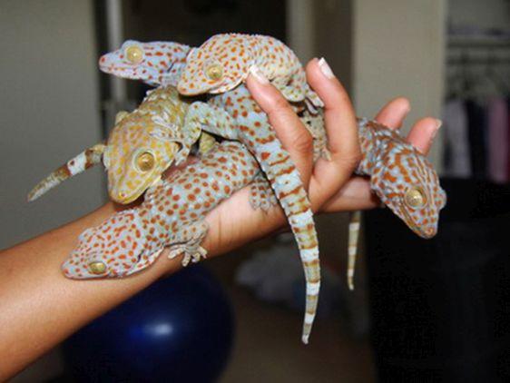 Есть и примета связанная с причудливым зверьком гекконом